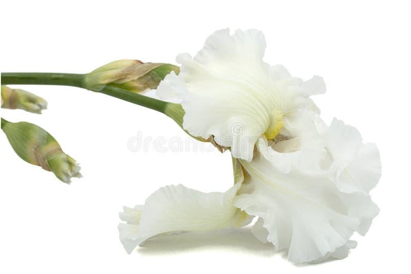 Flower of white iris close-up, isolated on white background.  royalty free stock photography