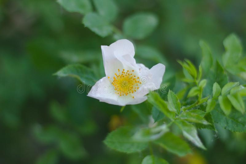 A flower with white petals and a yellow core. Wild rose blooms. High, sunlight, macro, up, view, nature, plant, detailed, stamens, rosehip, simplicity, season royalty free stock image