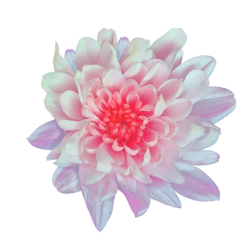 Flower white pink Chrysanthemum with a red shade inside, isolated on white background. Flower bud close up. Element of design stock images