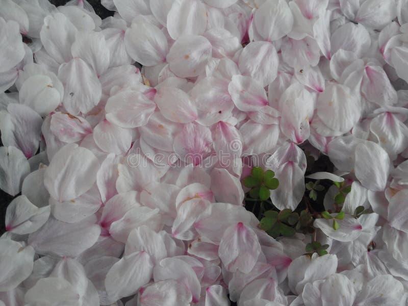 Flower, White, Pink, Petal stock image