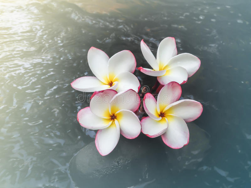 Flower white and pink plumeria or frangipani on water. And pebble in waterfall stock images