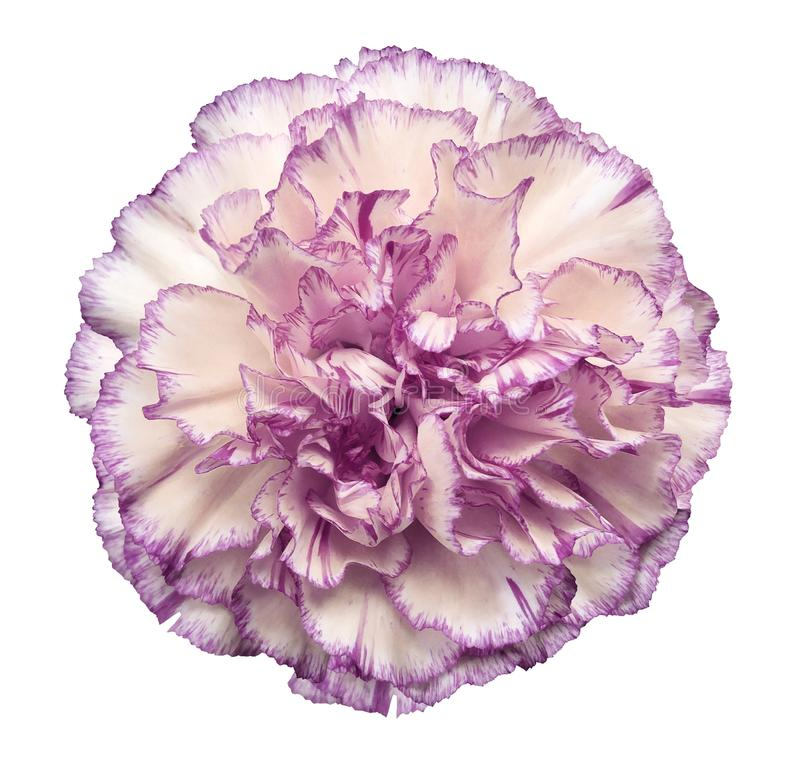 Flower White-violet carnation on a white isolated background with clipping path. Closeup. No shadows. For design. stock photo