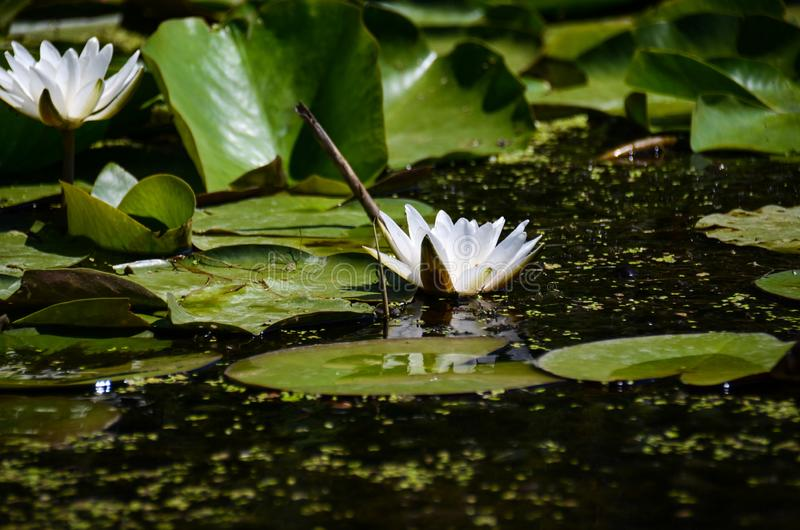 A flower of white water lilies next to large green leaves in a natural environment royalty free stock photo