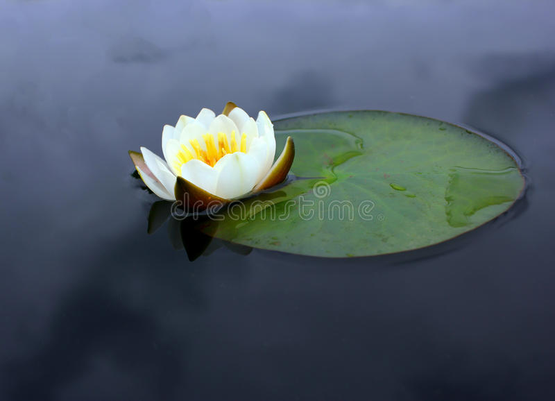 A flower of a white water lily with delicate petals and large green stock image