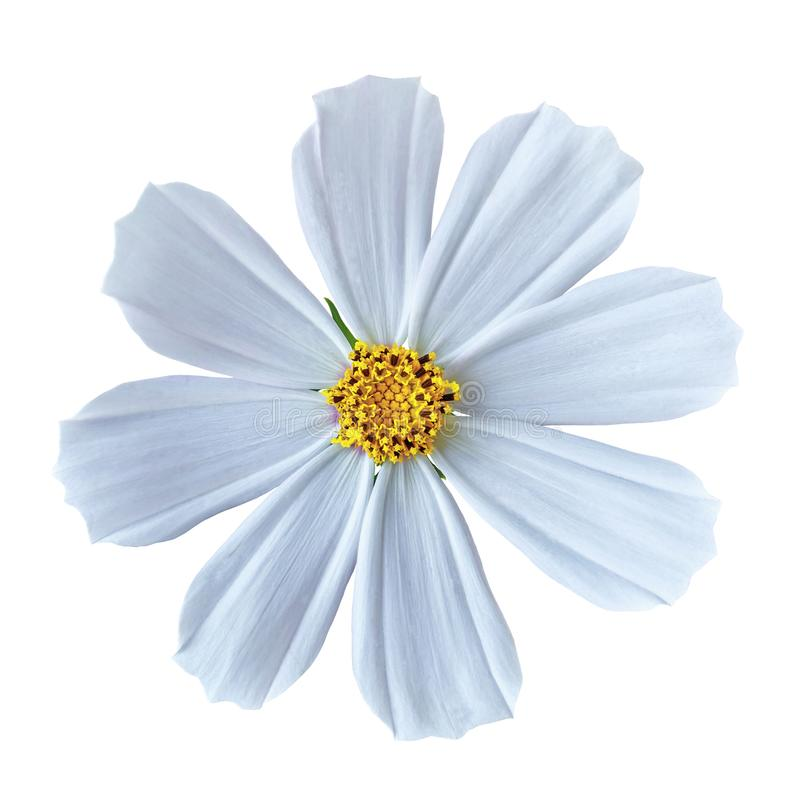 Flower white yellow cosmos mexican aster, isolated on a white background. Close-up. Element of design stock photo