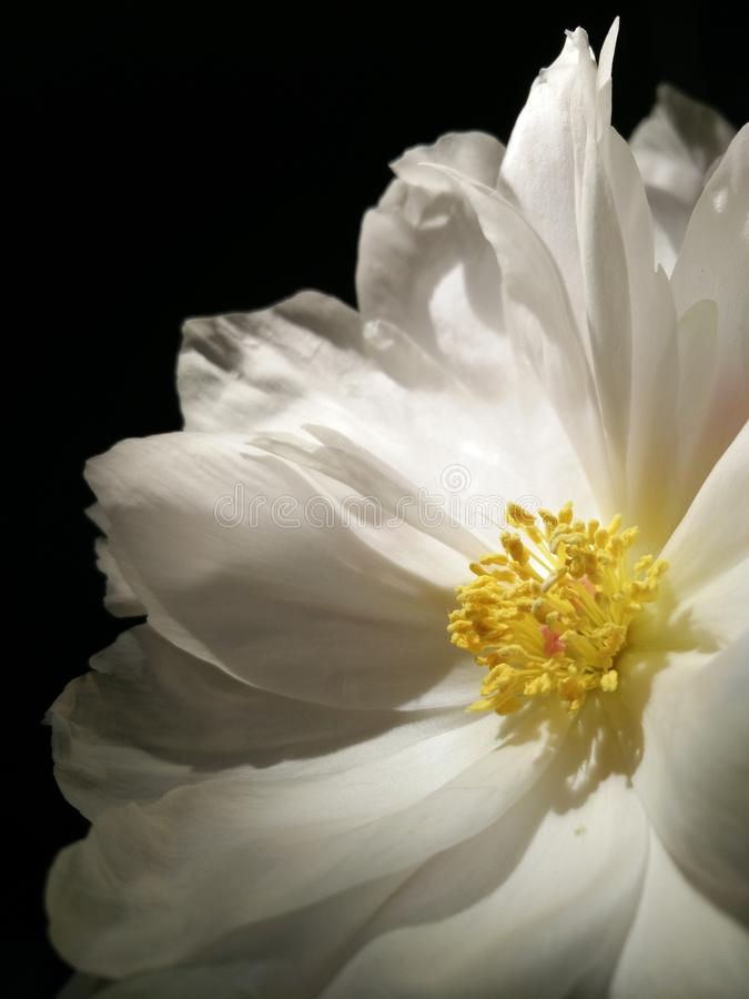 Flower, White, Yellow, Flora royalty free stock image