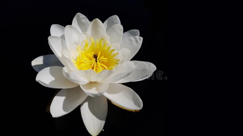 Flower, White, Yellow, Flowering Plant stock image