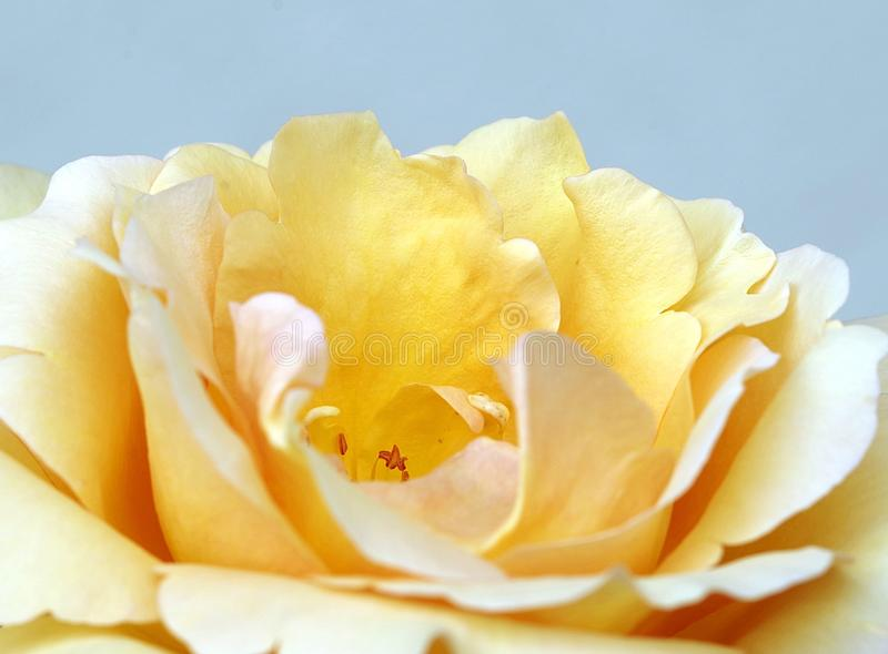 Flower, White, Yellow, Rose Family stock photo