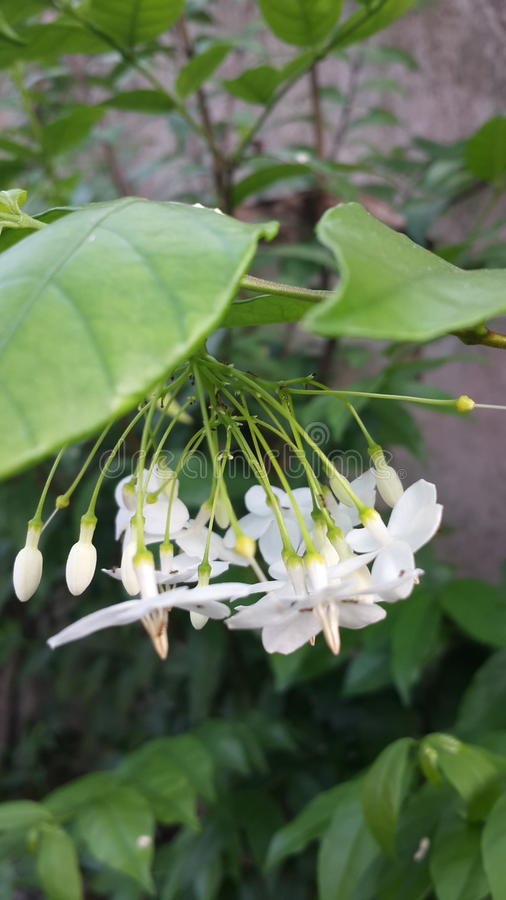 Flower whiteflower nature green asia royalty free stock photography