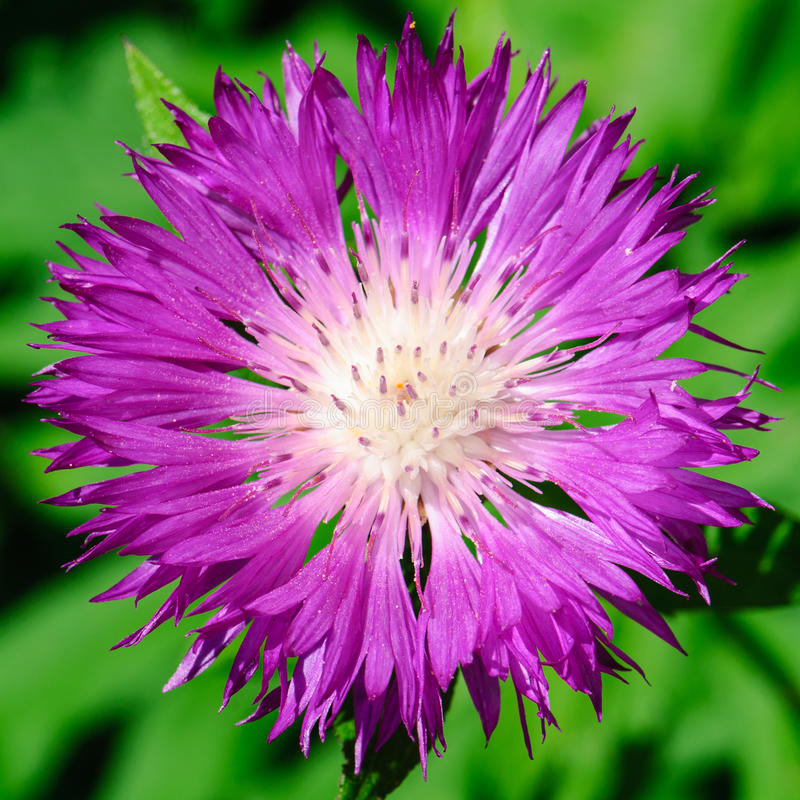 Flower of the Whitewash Cornflower stock photography