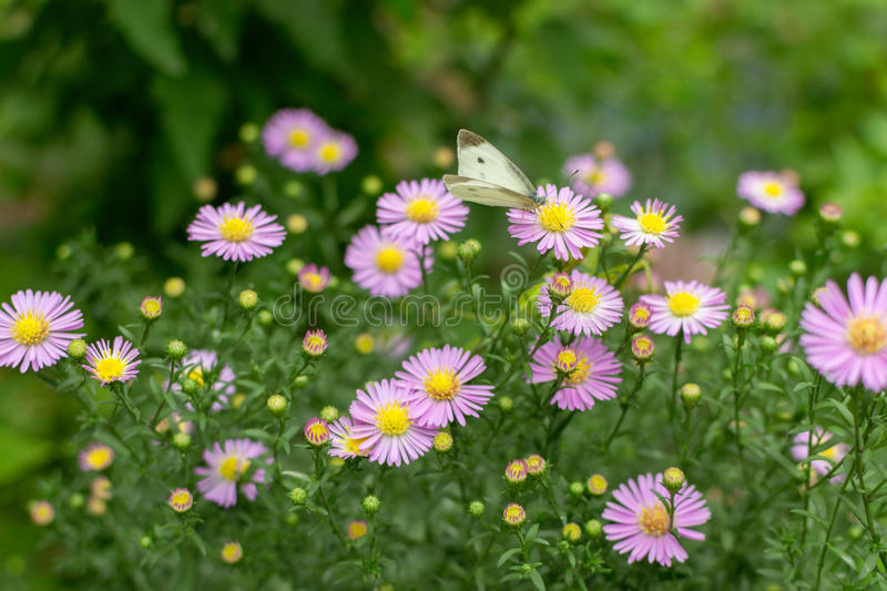 Flower. Wild flower daisy and butterfly stock image