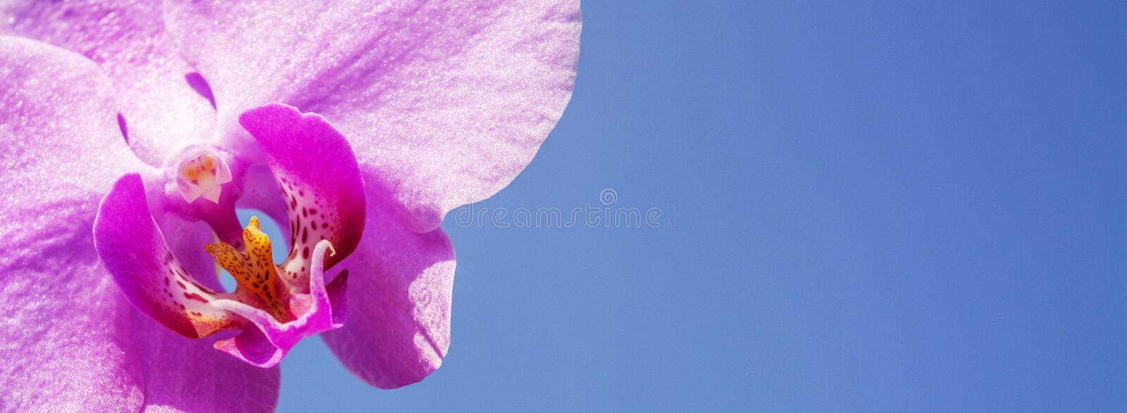 Flower of wild orchid on a background of blue sky, close-up royalty free stock images