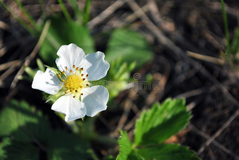 Flower of wild strawberry, growing spring in forest close up macro detail, soft blurry dark green grass royalty free stock photos