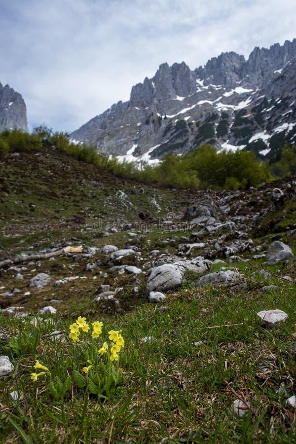 Flower at the wilder kaiser. Mountain range in austria royalty free stock photography