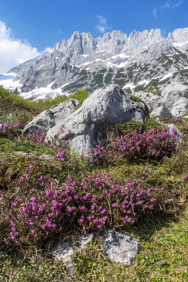 Flower at the wilder kaiser. Heather plant in the wilder kaiser mountains royalty free stock photos