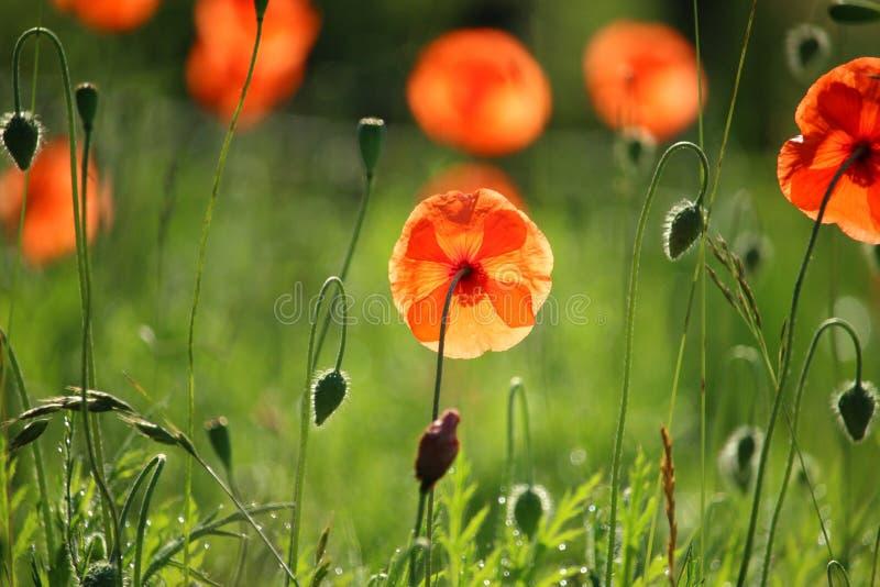 Flower, Wildflower, Poppy, Meadow Free Public Domain Cc0 Image