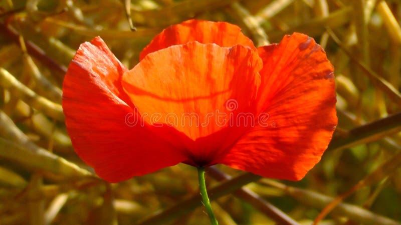 Flower, Wildflower, Poppy, Orange stock photo