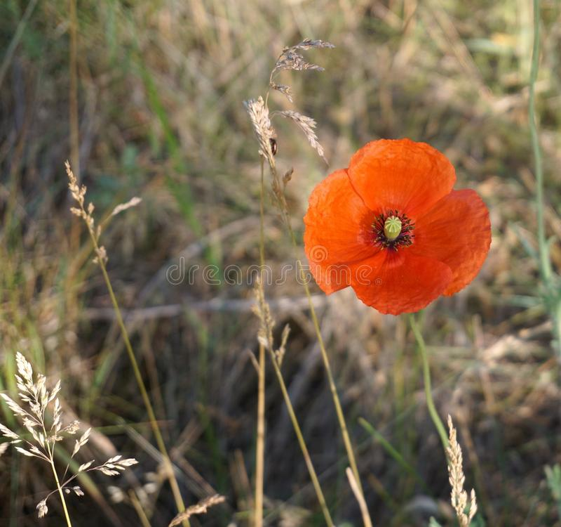 Flower, Wildflower, Vegetation, Poppy Free Public Domain Cc0 Image