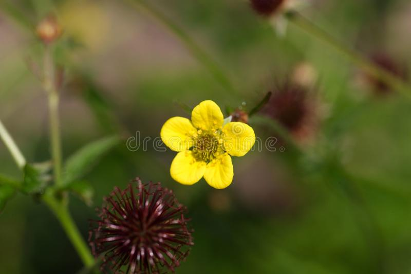 Flower of a wood avens herb. (Geum urbanum), a plant used in traditional medicine stock image