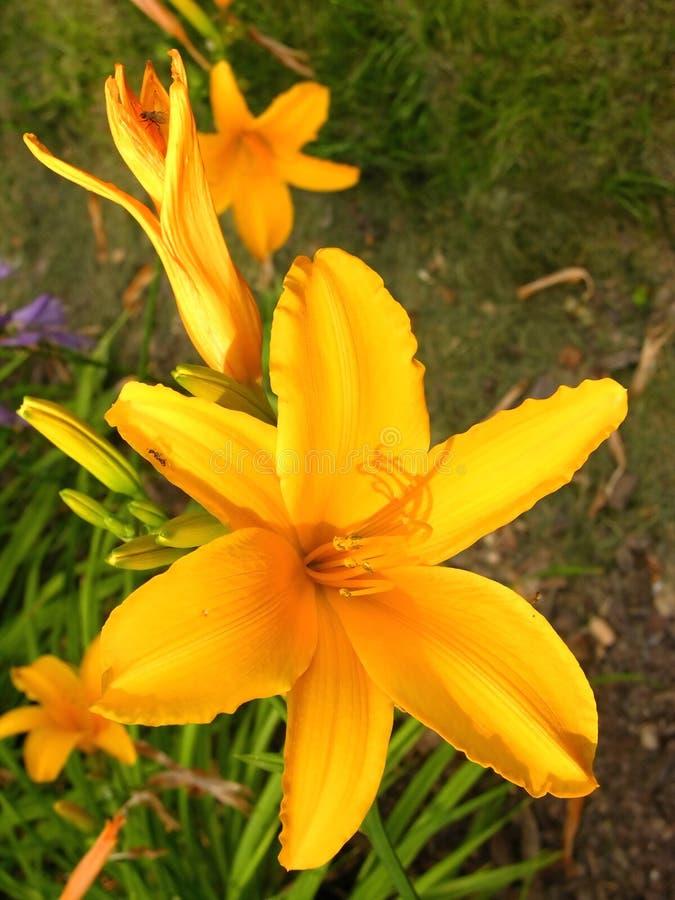 Flower yellow azalea, lily royalty free stock photography