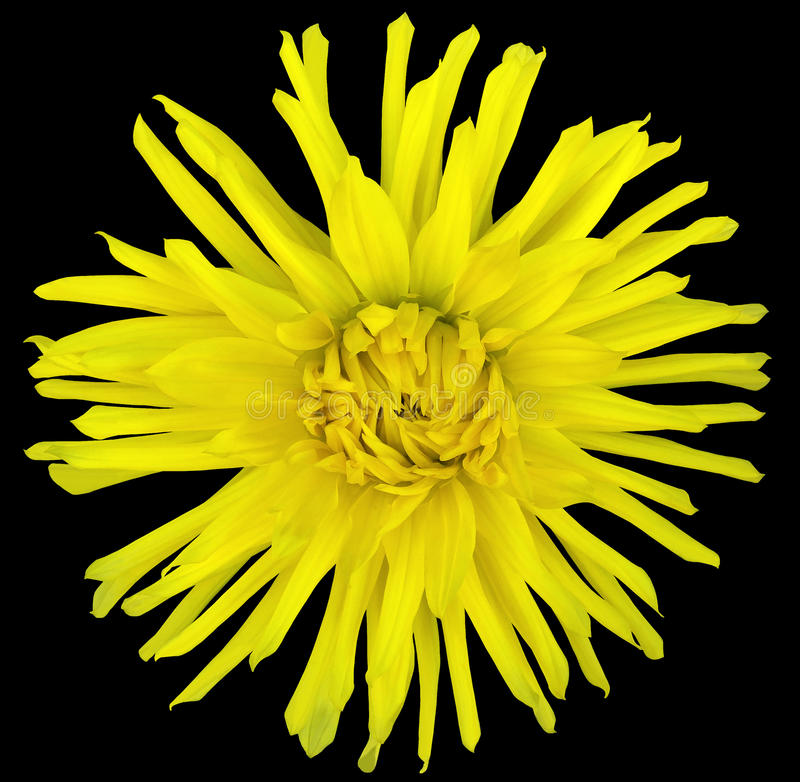 Flower yellow on a black background isolated with clipping path. Closeup. big shaggy flower. Aster royalty free stock photos