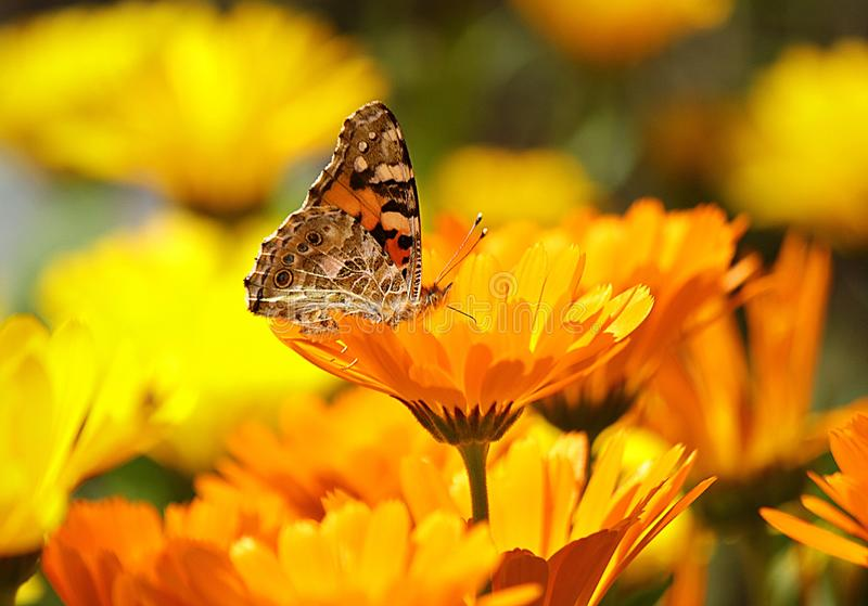 Flower, Yellow, Butterfly, Nectar royalty free stock photo