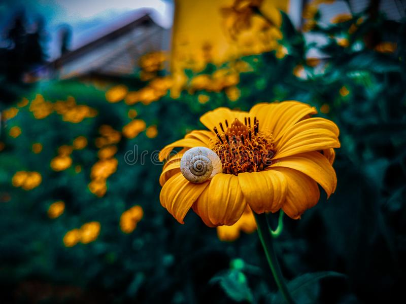 Flower. Yellow, chill, snail, little stock photo