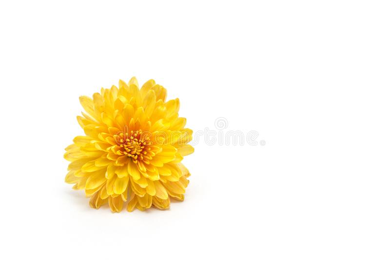 Flower yellow chrysanthemum on a white background, isolate, close-up, golden-daisy, beautiful royalty free stock photography