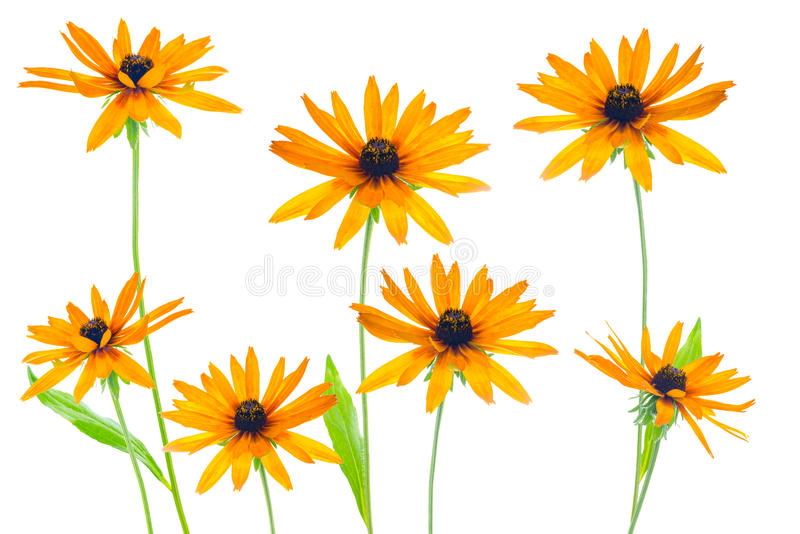 Flower yellow coneflower the isolated stock image