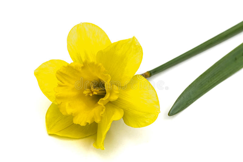 Flower of yellow Daffodil (narcissus), isolated on white background royalty free stock photos