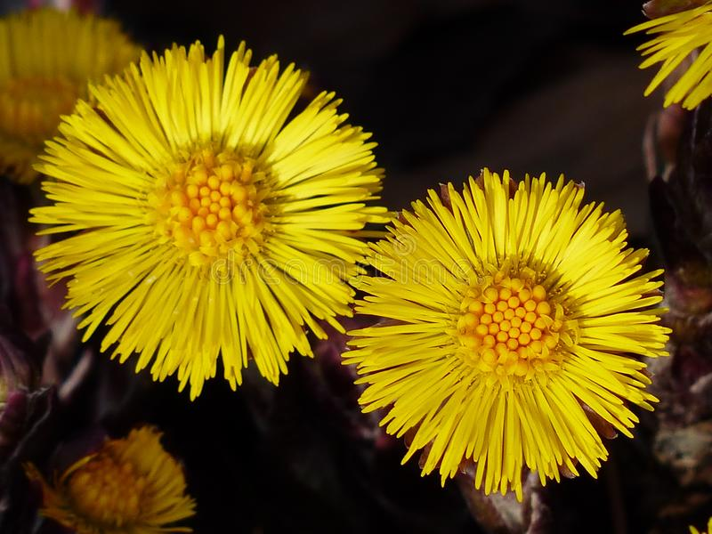 Flower, Yellow, Dandelion, Flora stock photography