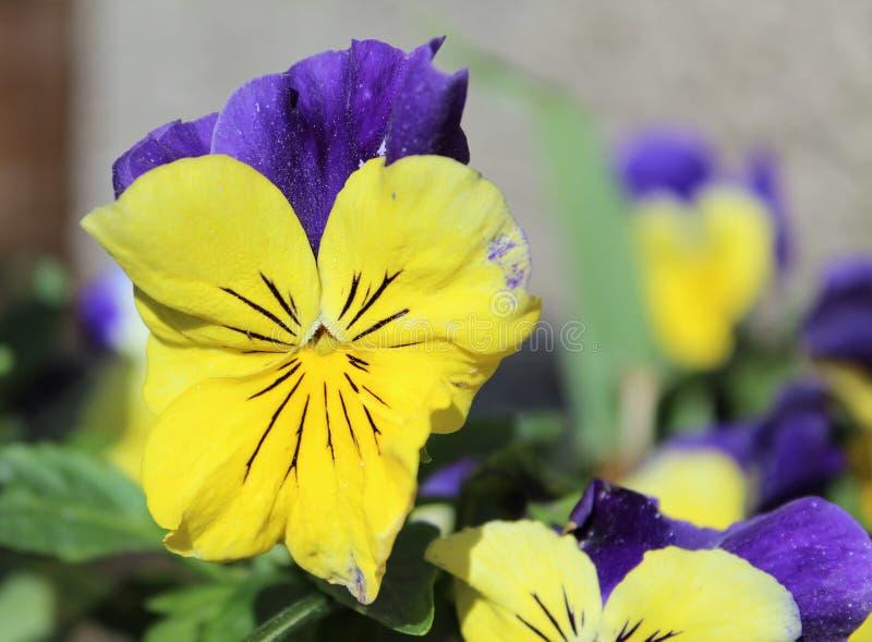 Flower, Yellow, Flora, Pansy stock photo