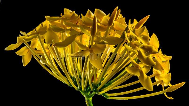 Flower, Yellow, Flora, Plant royalty free stock photos