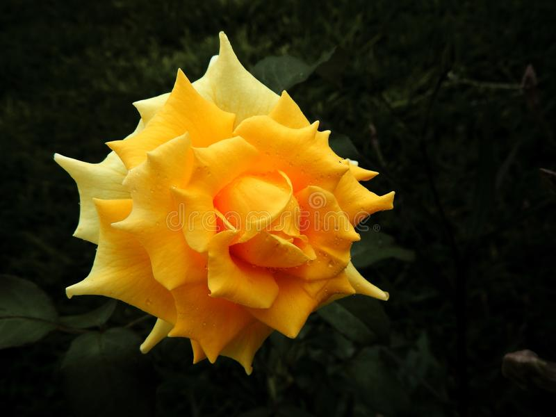 Flower, Yellow, Flora, Rose Family royalty free stock image