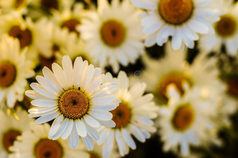 Flower, Yellow, Flowering Plant, Daisy royalty free stock image