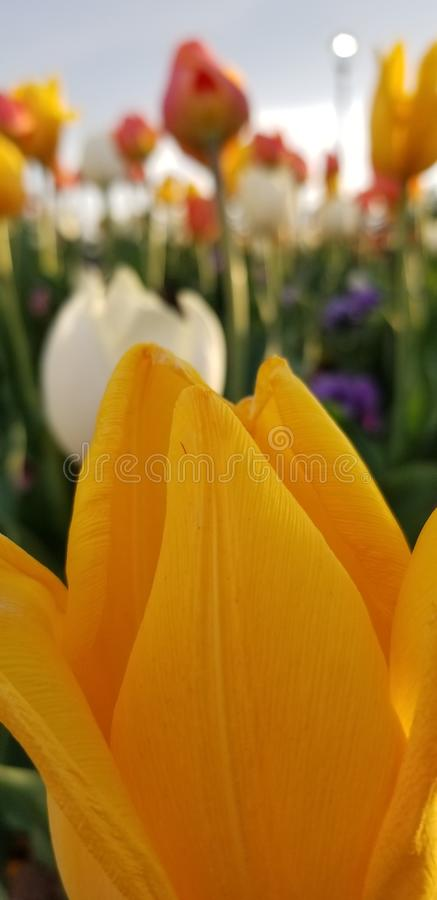Flower, Yellow, Flowering Plant, Tulip royalty free stock photography