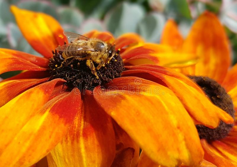 Flower, Yellow, Honey Bee, Bee stock images
