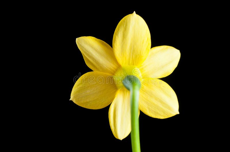 Flower of yellow narcissus close-up from the back side against a black background, isolate. Petals and pistils with ticles royalty free stock images