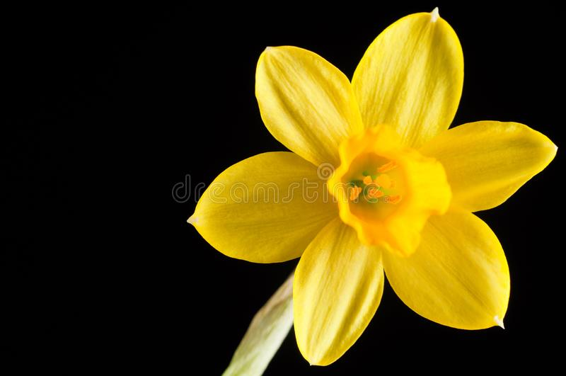 Flower of yellow narcissus close up on a black background, isolate. Petals and pistils with ticles.  stock photos