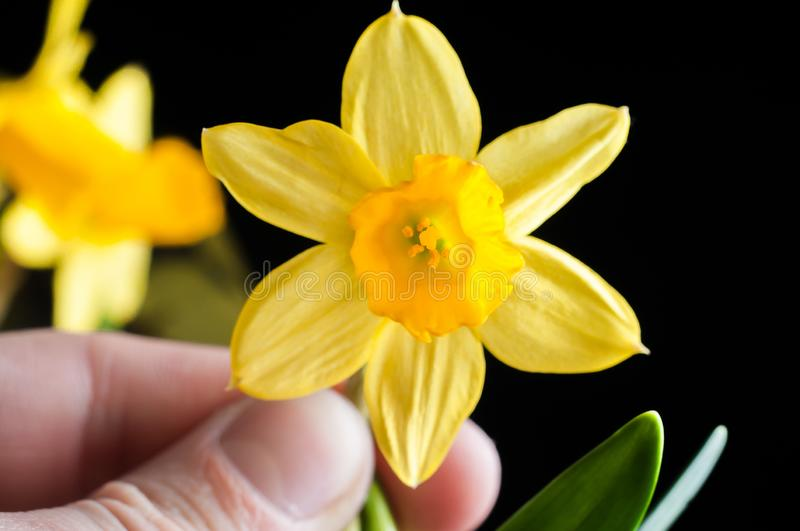 Flower of yellow narcissus closeup in hand on a black background, isolate. Petals and pistils with ticles.  royalty free stock photography
