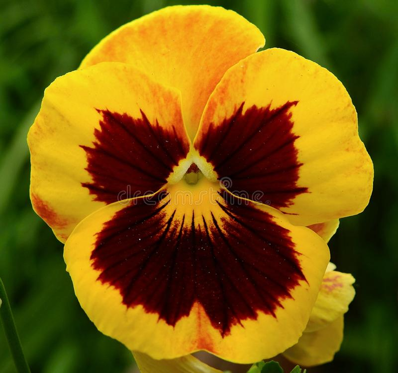Flower, Yellow, Pansy, Flora royalty free stock images