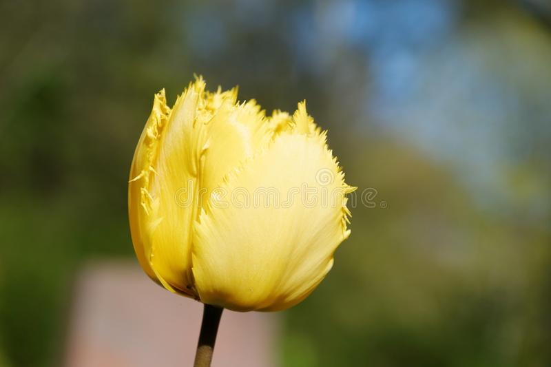 Flower, Yellow, Plant, Tulip royalty free stock photos