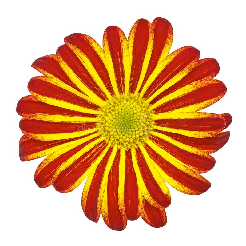 Flower yellow red daisy isolated on white background. Close-up royalty free stock photography
