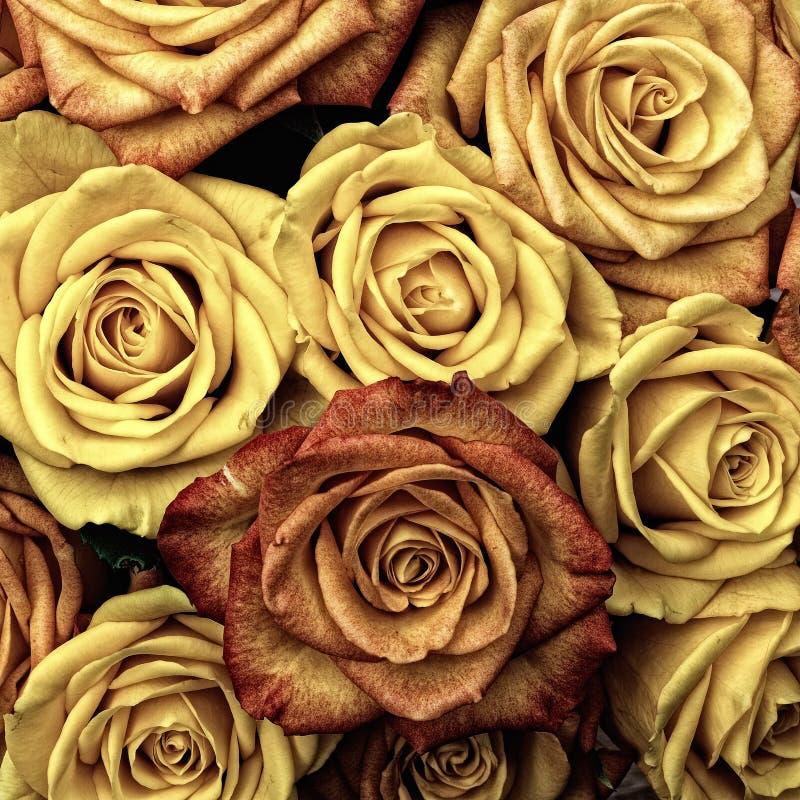 Flower, Yellow, Rose, Rose Family royalty free stock photo