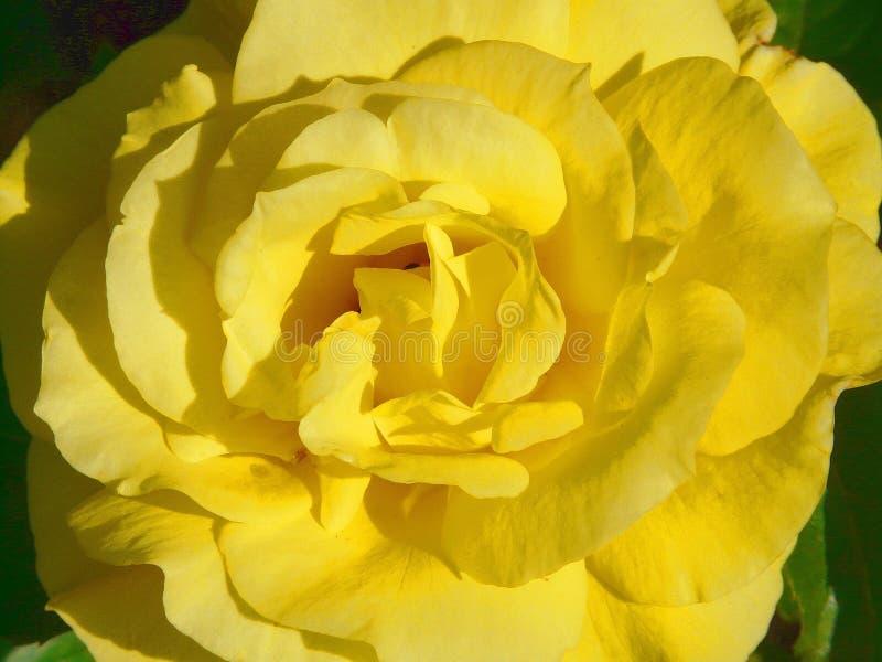 Flower, Yellow, Rose Family, Rose royalty free stock photos