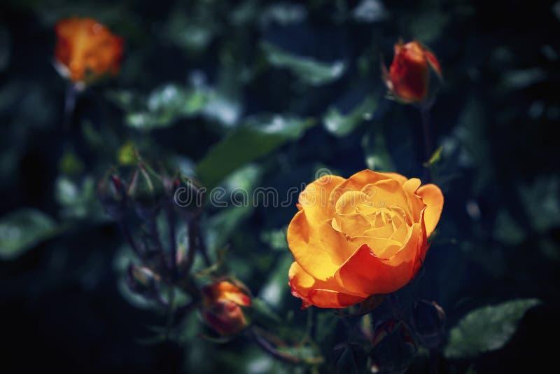 Flower. Yellow rose in the garden stock photo