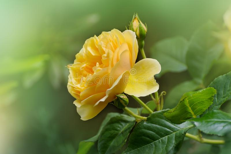 Flower of yellow rose in the summer garden english rose graham download flower of yellow rose in the summer garden english rose graham stock image thecheapjerseys Images