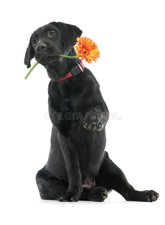 Flower for you. Puppy Labrador retriever holding a flower in its mouth. Isolated on white stock photos