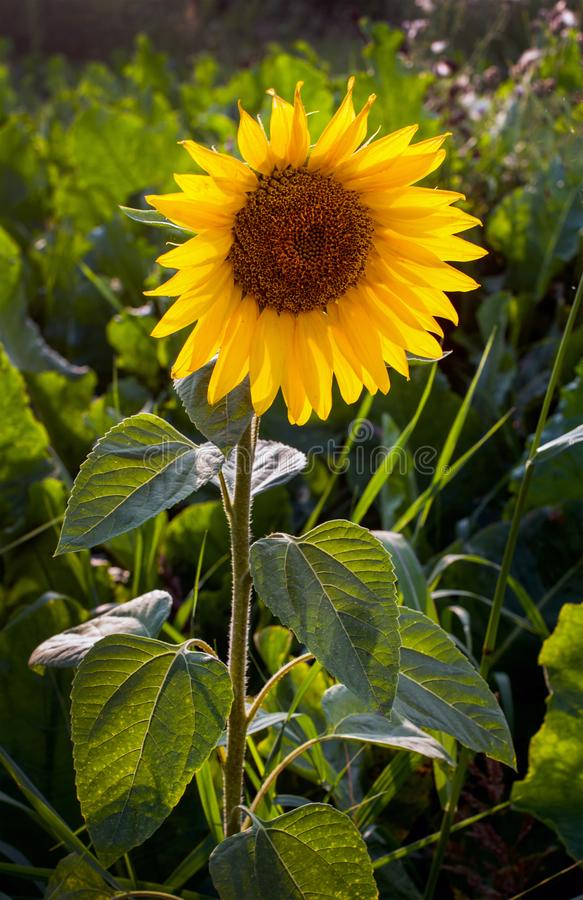 Flower of young sunflower separately alone. And sun lights royalty free stock photo