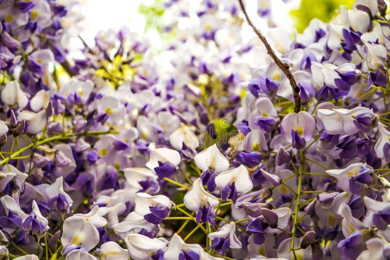 flowera del rattan che fiorisce in un parco fotografia stock